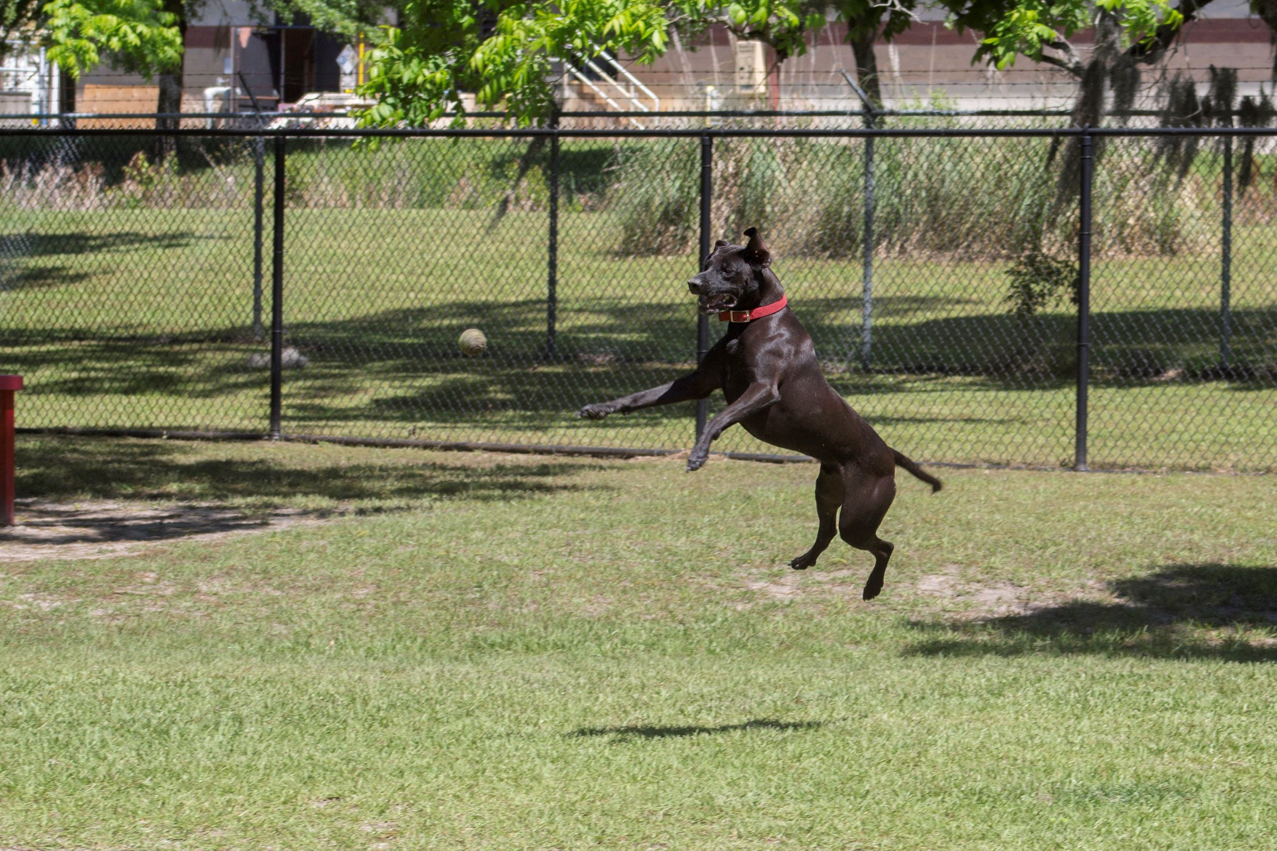 Image of dog jumping to catch a tennis ball.
